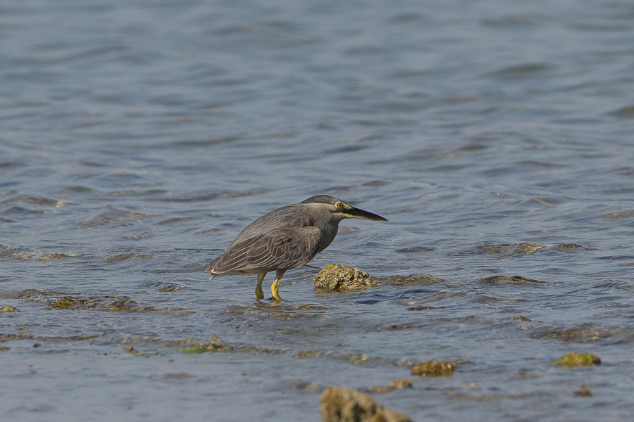 Striated Heron - adult