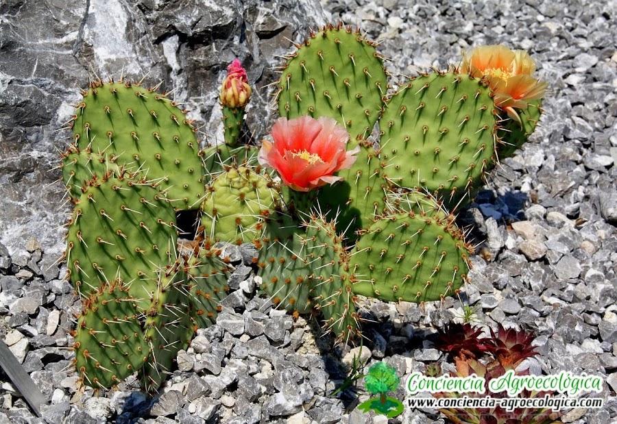 cactus con flores son más resistentes