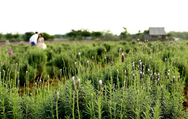 Hanoi grows lush with lavender in March 1