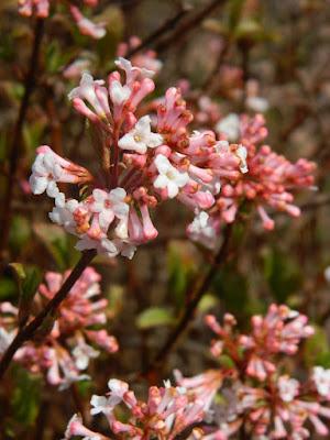 Viburnum farreri Nanum Dwarf Fragrant Viburnum spring blooms at Toronto Botanical Garden by garden muses-not another Toronto gardening blog
