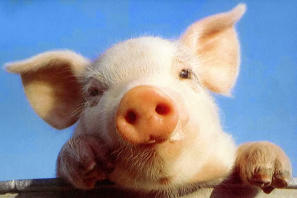 alta moda negozio ufficiale autentica di fabbrica Paola Re: Il maiale non è una ripugnante materia.