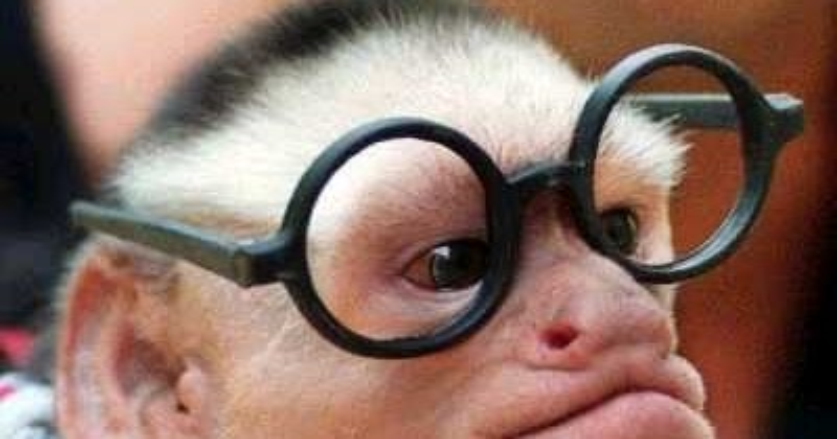Foto Monyet Kaca Mata  Gambar Lucu  Wallpaper Lucu