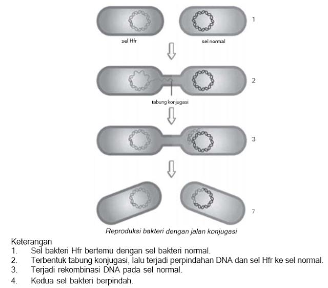 Reproduksi bakteri dengan jalan konjugasi