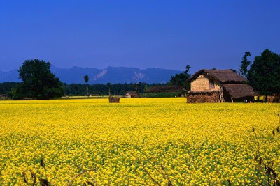 Mustard field in Kailali district