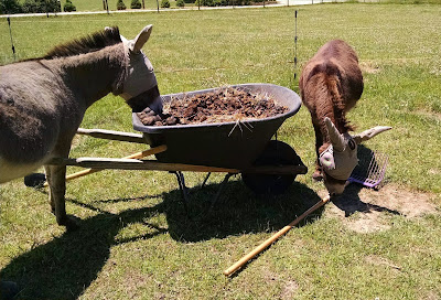 miniature donkeys and wheelbarrow of manure
