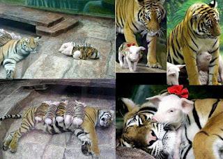Montagem com cinco fotografias coloridas, duas à esquerda e três à direita, mostra uma tigresa de corpo amarelado e branco com listras pretas. Cara grande com as mesmas listras do corpo, olhos verdes em formato amendoado, focinho rosado e longos bigodes brancos. Junto a ela, filhotes brancos de porco estão camuflados com roupas que imitam com perfeição a pelagem da tigresa. Só as cabeças e patas dos filhotes estão descobertas.Esquerda: A tigresa está dormindo tranquilamente sobre um piso de pedras. Acima, alguns filhotes estão dormindo sobre o corpo da tigresa, outros dois dormem próximos a ela. Abaixo, cinco filhotes dormem lado a lado estendidos folgadamente sobre o corpo da tigresa.Direita: A tigresa interage com os filhotes já crescidos. Eles continuam com as roupas com estampa de tigre. Acima, um filhote com um laço vermelho no pescoço caminha a frente da tigresa que o acompanha. Ao lado, um filhote entrelaça a cabeça abaixo do peito da tigresa, aninhando-se entre as pernas dela. Próximo a eles, parte da cabecinha branca de outro filhote. Abaixo, enquanto a tigresa dorme com o corpo lateralizado, o filhote com laço vermelho no pescoço observa-a com olhar curioso, debruçado despreocupadamente ao redor do pescoço dela, com o focinho apoiado na enorme mandíbula da enorme tigresa.