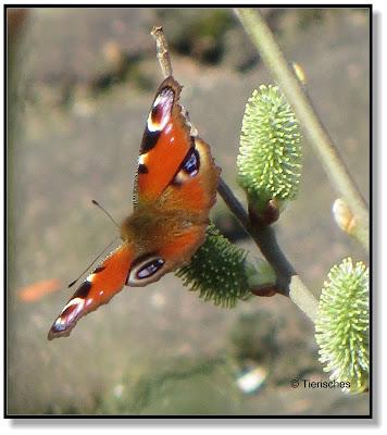Tierisches, Schmetterling