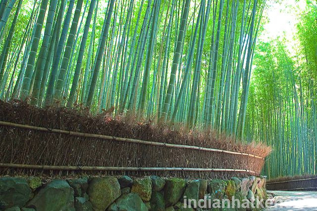 Sagano Bamboo forest Japan