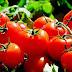 Diez curiosidades sobre el tomate que nunca nadie te había contado
