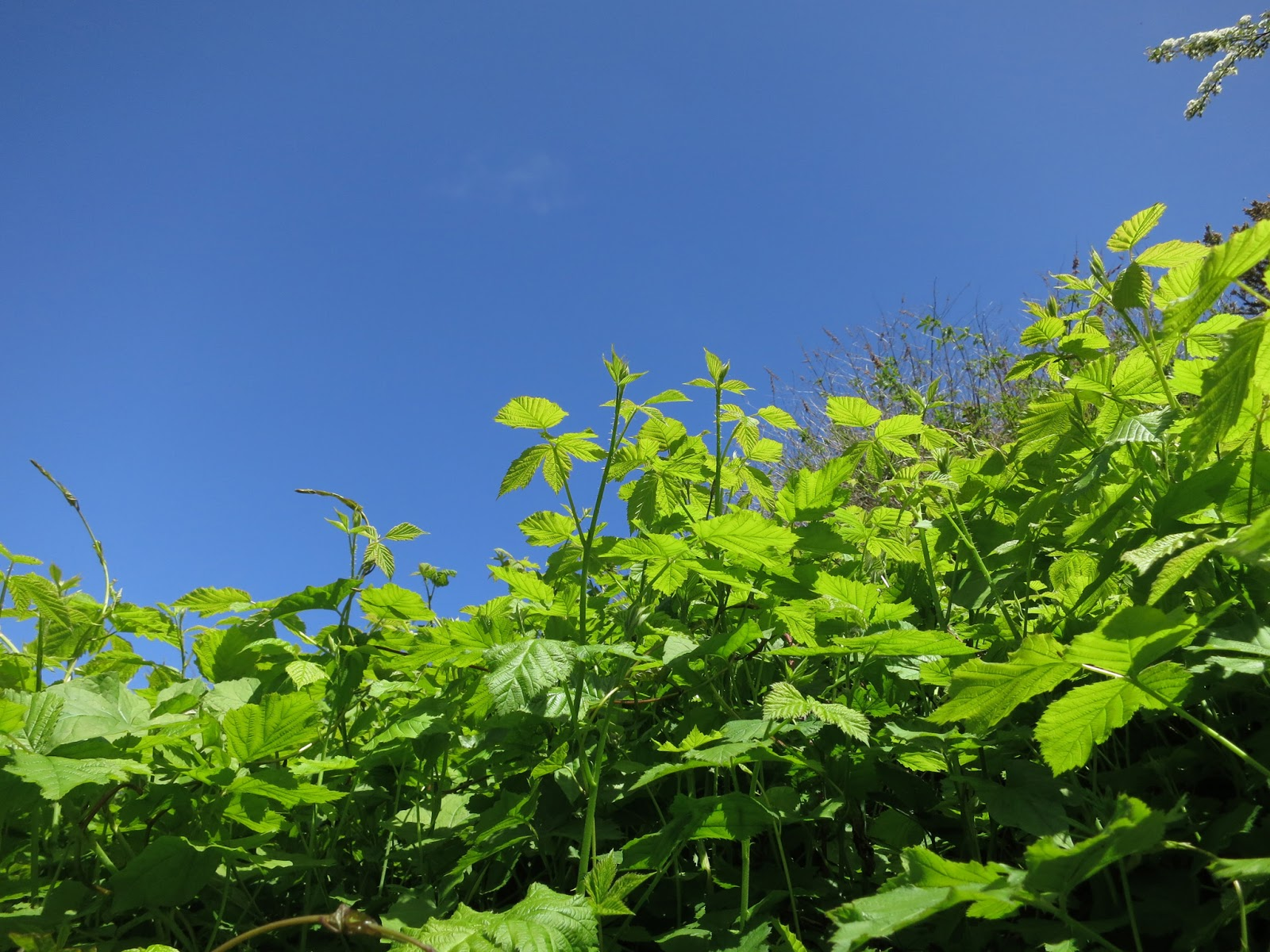 New bramble leaves against blue sky with bindweed rising above them