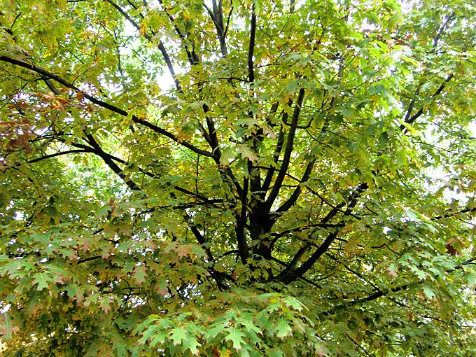Hortus italicus quercus rubra l 1753 for Alberelli ornamentali