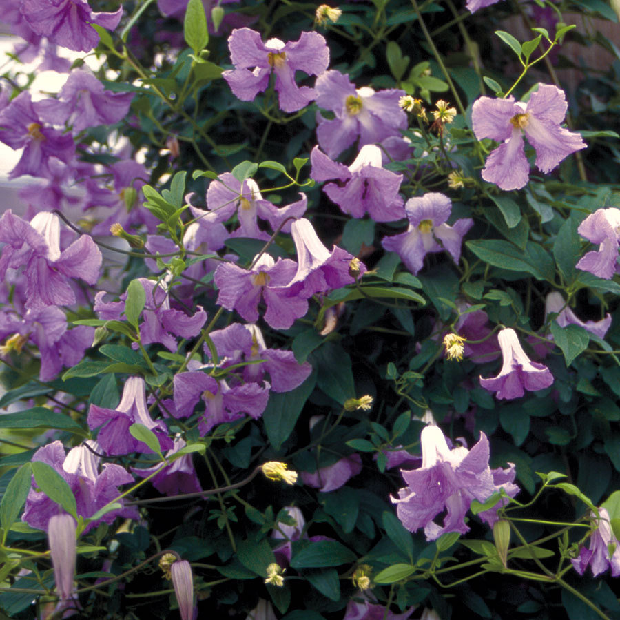 3 steps to propagating clematis - Clematis viticella ...