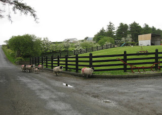 Sheep on the road, in the rain, near Buncrana, Ireland