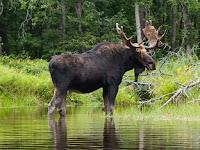 American Moose Pictures Alces americanus