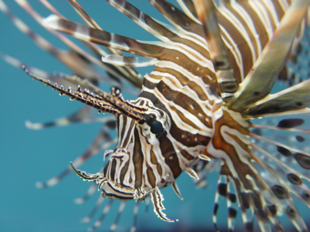 سمكة اسد البحر عندما يجتمع الجمال والخطر Lifish_3.JPG
