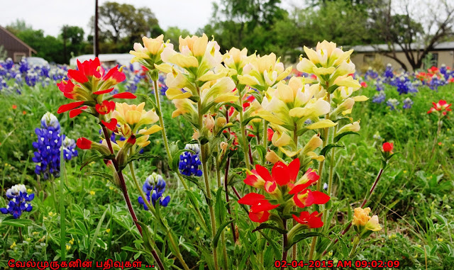 Bluebonnets San Antonio Texas