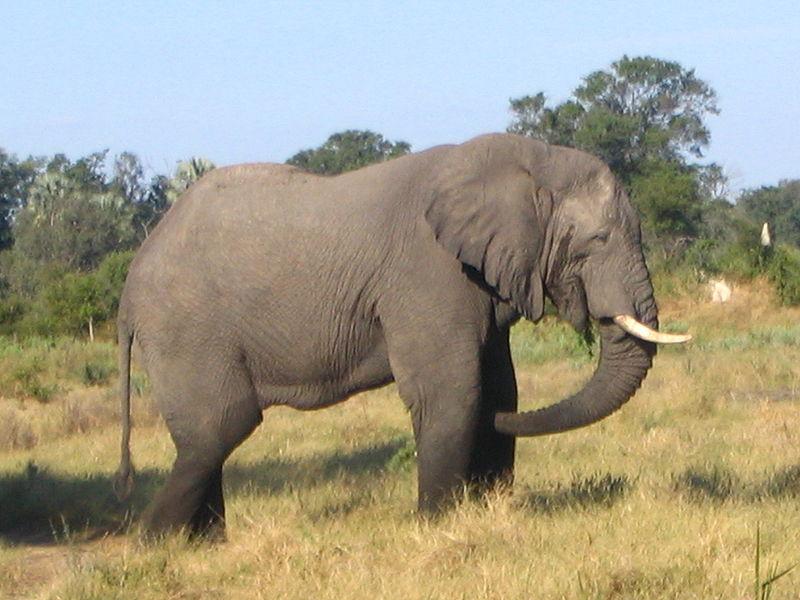 Blog dunia binatang: Gajah,si hewan terbesar