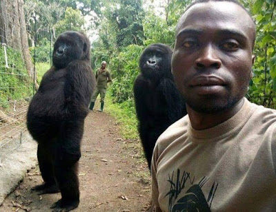 GORILLAS POSE FOR SELFIE WITH DR CONGO ANTI-POACHING UNIT RANGERS