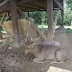 Penangkaran Rusa di Kecamatan Cariu