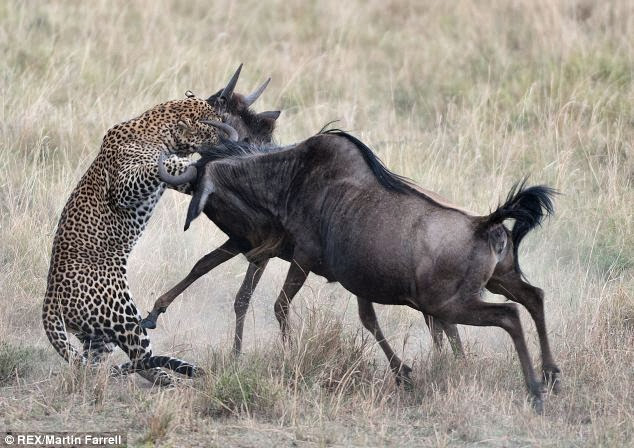 Wildlife Photos: Wildebeest vs Leopard, Who win?
