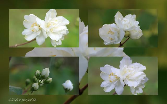 arbuste floraison printanière parfumée