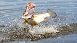 Tìm hiểu kỹ thuật câu cá Vược