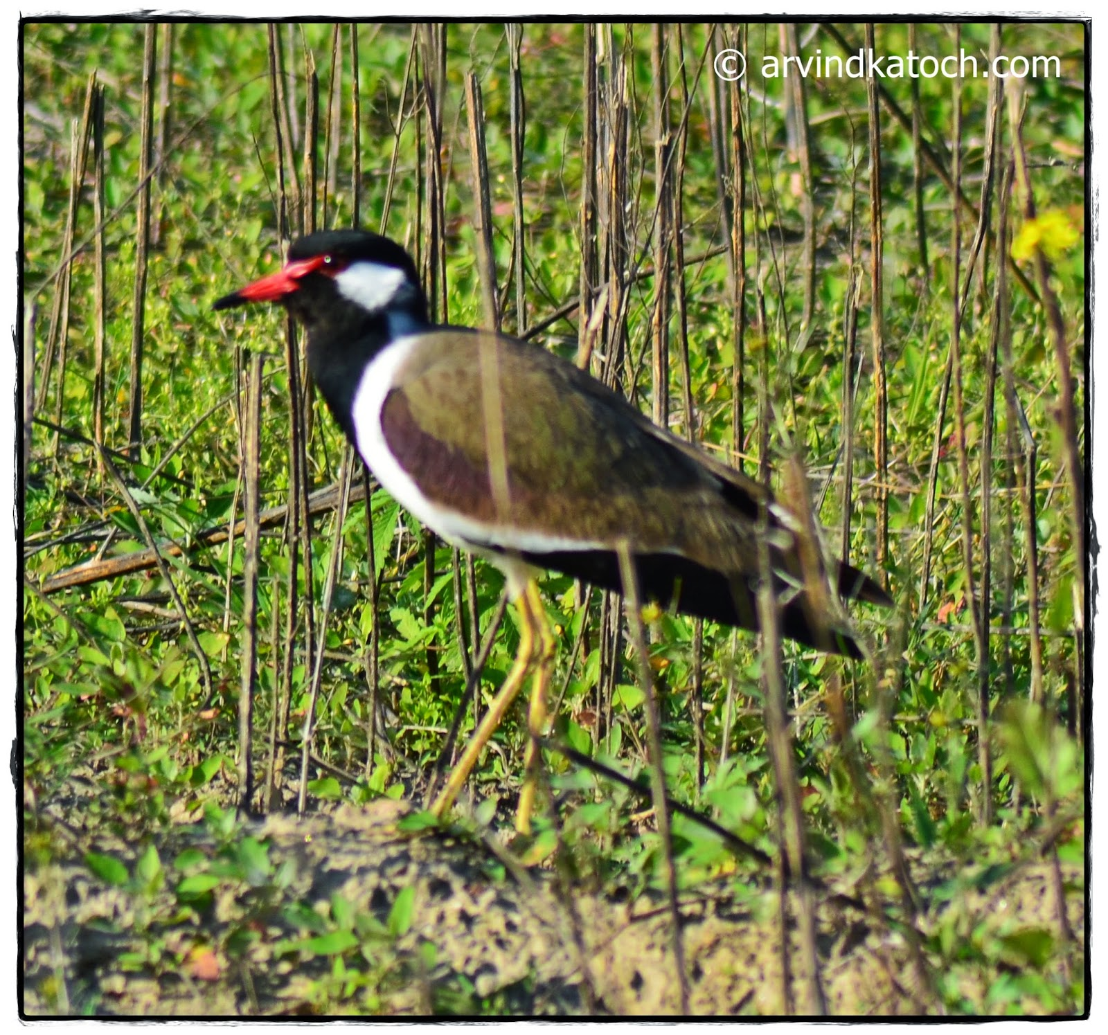Red-wattled Lapwing, Wild