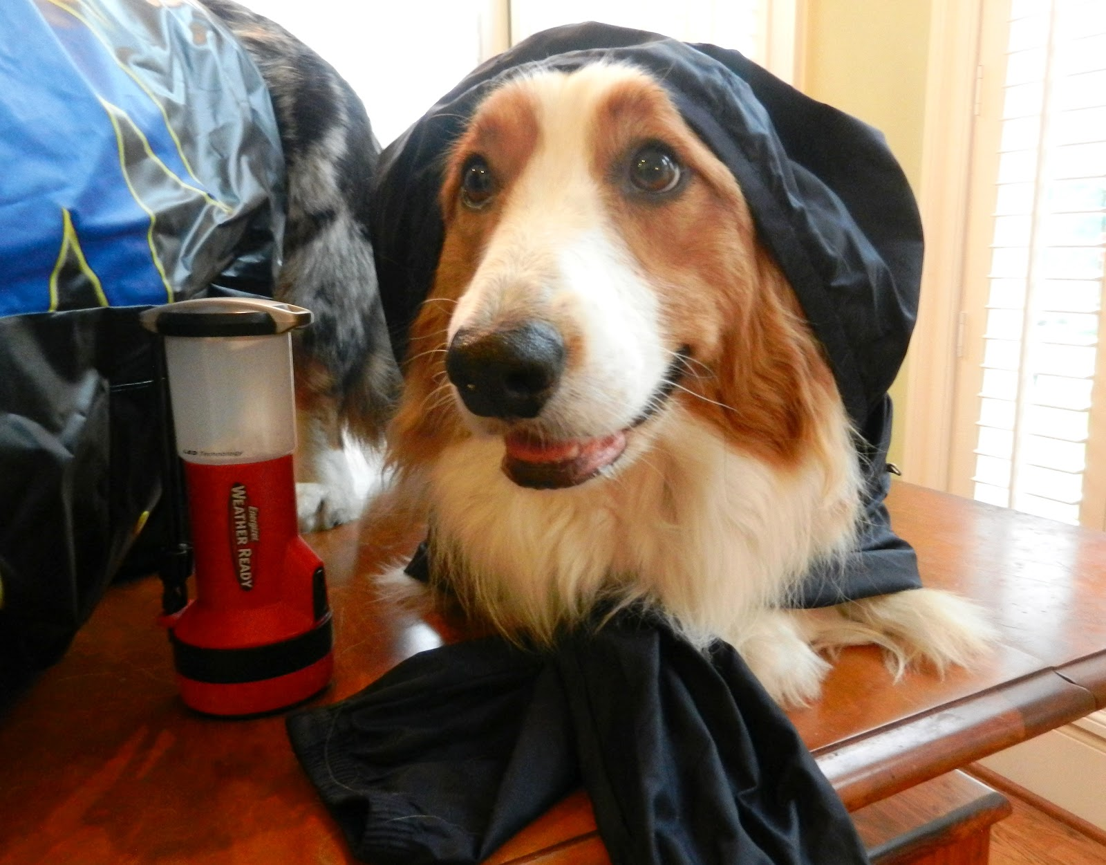 dog prepares for hurricane with raincoat and flashlight