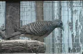 Mengenal Lebih Jauh Tentang Burung Perkutut