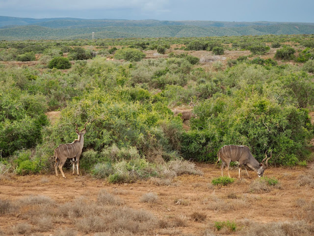 Kudu antelope in Addo Elephant National Park, South Africa
