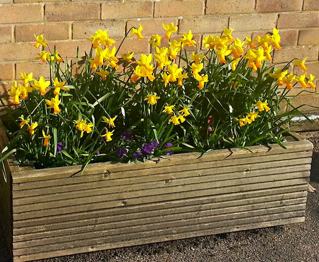 Outdoor planter containing flowering daffodils