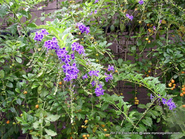 My Tropical Plants Finder: Duranta erecta - Purple flowers