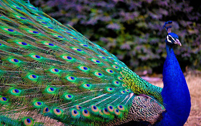lovely-bird-of-india-peacock-images