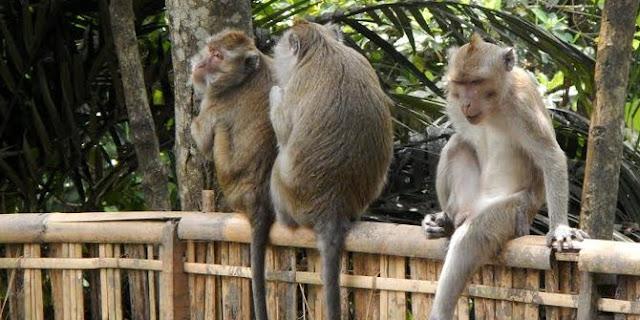 Kebun Warga Rusak diserang Kawanan Monyet