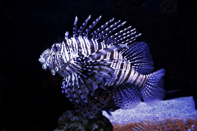 Los peces del género Pterois tienen un par de aletas en forma de abanico en las aletas pectorales y una punzante primera aleta dorsal.