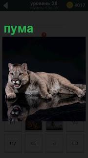 Хищный зверь пума отдыхает лежа, но никого к себе не подпускает