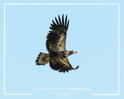 Juvenile Bald Eagle  © Shelley Banks, All Rights Reserved.