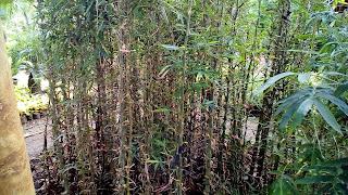 Jual Pohon Bambu Nagin,Tanaman Bambu Hias,Tanaman Pagar