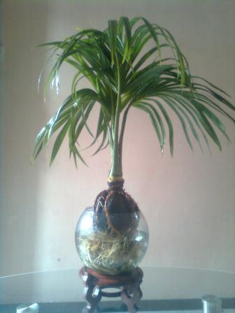 Bonsai Kelapa Media Tanam Air Blogger Bonsai