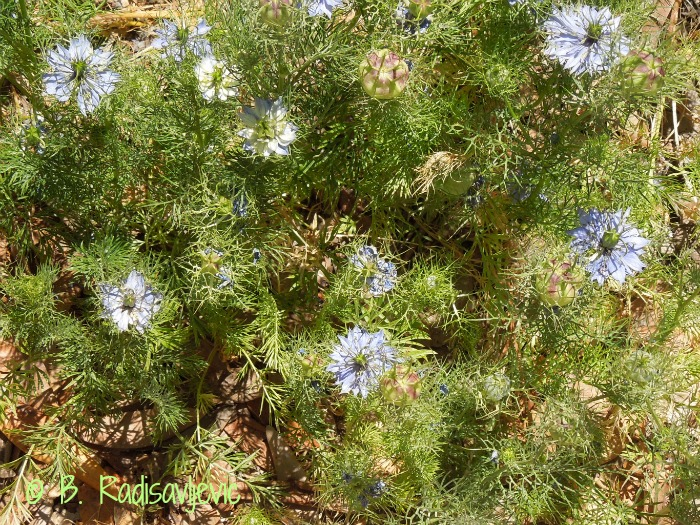 Nigella - A Wonderful Garden Surprise