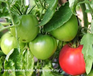 сорта ранних томатов