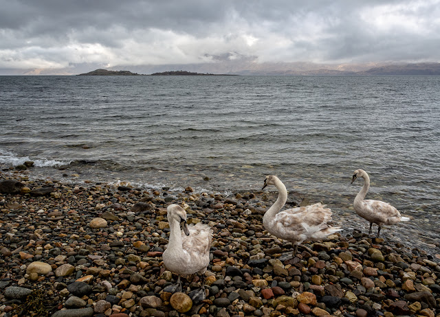 Photo of juvenile swans coming ashore on the beach by our cottage