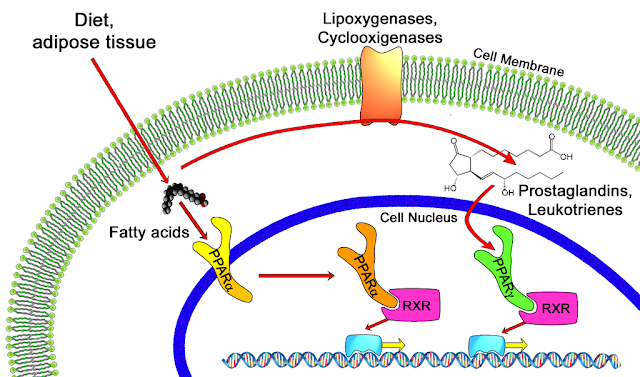 рецепторы, активируемые пероксисомными пролифераторами (PPARs)