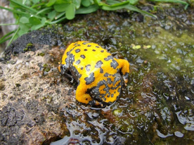 yellow-bellied toads