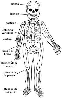 Sistema óseo Mvl El Cuerpo Humano Y Sus Sistemas