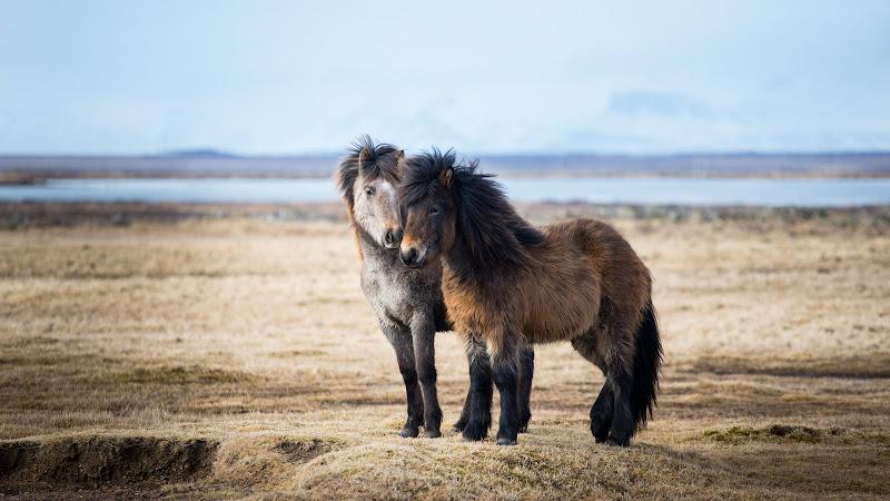 Icelandic Horses HD