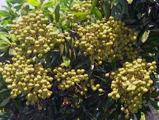 pupuk untuk tanaman kelengkeng agar cepat berbuah