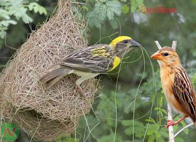 baya weaver bird, বাবুই