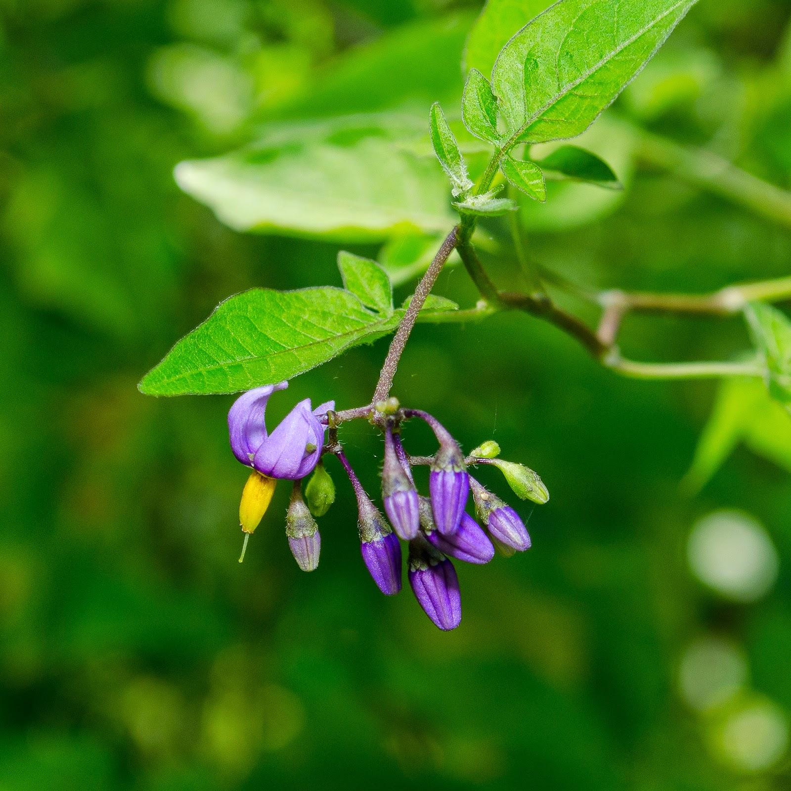 Bittersweet Nightshade, Solanum dulcamara