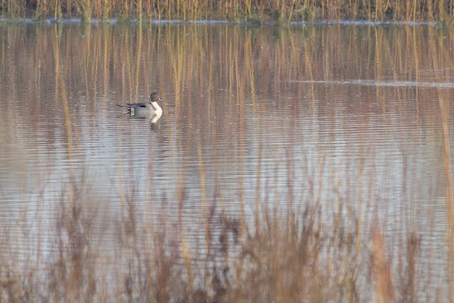 Pintail Swimming the waters of the Floodplain Forest Nature Reserve